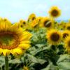 夏の想い出に!岡山県の笠岡湾干拓地のひまわりを見に行きました!