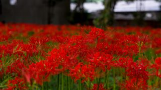 岡山県真庭市に咲き誇る、曼珠沙華(彼岸花)の群生地に行ってきました