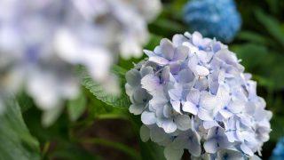 湿気一杯の梅雨時期を気分良く過ごす!色彩豊かなアジサイ園を観賞!